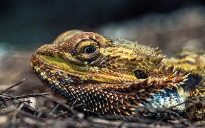 Caring For A Bearded Dragon
