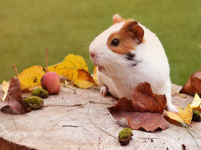 Dietary Tips for your Guinea Pig