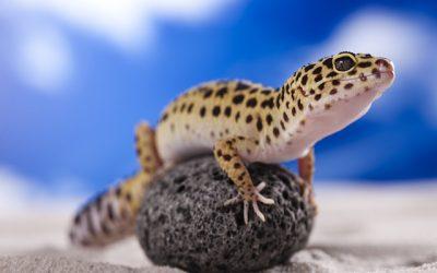 Leopard Geckos Make Great Beginner Lizard Pets