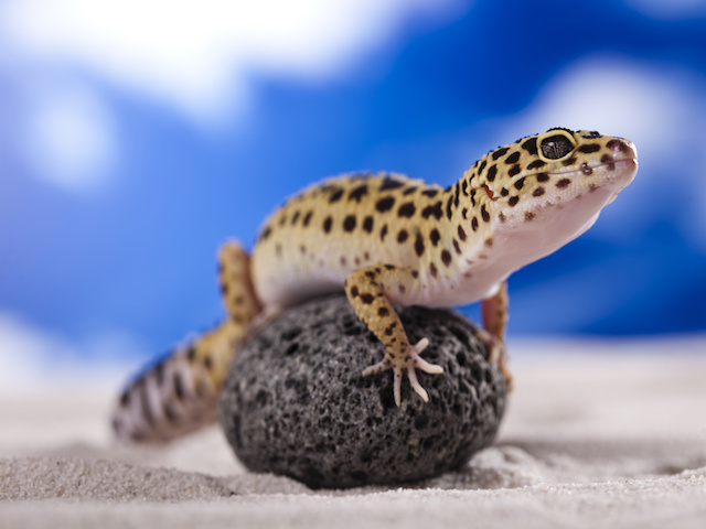 Leopard Geckos Make Great Beginner Lizard Pets